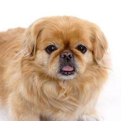 Pekingese Breed Information & Pictures (Peke, Lion dog)