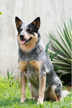 Australian Cattle Dog Breed Information & Pictures (Queensland Heeler ...