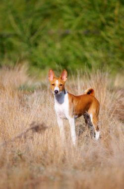 Basenji Breed Information Pictures Voiceless Dog African Bush