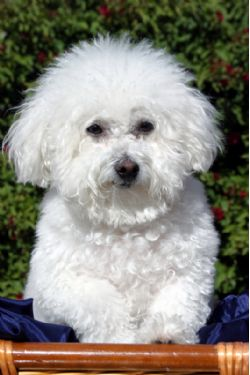 maltese bichon for sale