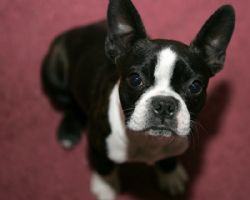 Boston Terrier Breed Information Pictures Boston Bull Dog Boston