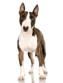 Bull Terrier Breed Information & Pictures (English Bull Terrier ...