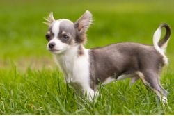 Long Haired Chihuahua Adult
