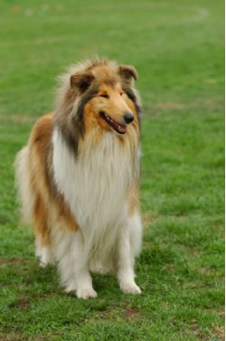 Collie Breed Information & Pictures (Lassie)