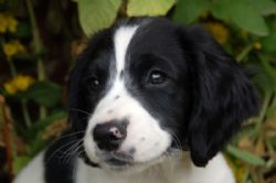 English Springer Spaniel Breed Information & Pictures ( Earlier