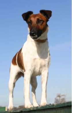 Fox Terriers (Smooth)