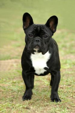 French Bulldog Breed Information Pictures Frenchie Little Clown