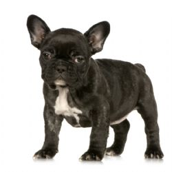 French Bulldog Breed Information & Pictures (Frenchie, Little Clown ...