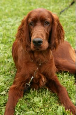 Irish Setter Breed Information & Pictures (Red Setter)