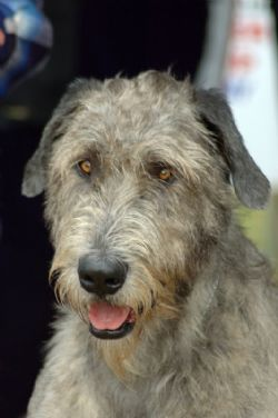 Irish Wolfhound Breed Information Amp Pictures Sighthound