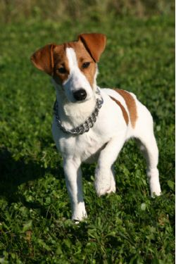 Adult jack russells for sale