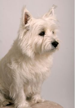 West Highland White Terrier Breed Information Amp Pictures