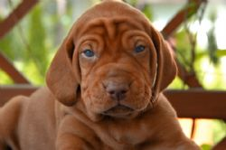 Vizsla  Puppy Adult