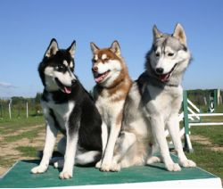 breeds 07249122006823 1 Siberian Husky. Puppy Adult