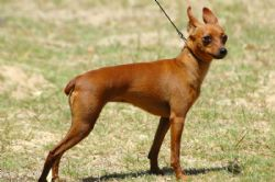 Miniature Pinscher Breed Information Amp Pictures Min Pin