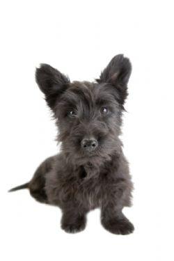 Scottish Terrier Breed Information Pictures Aberdeen Terrier Or Scottie
