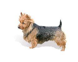 Australian Terrier Breed Information Pictures Aussie Aussie