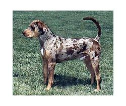 Catahoula Leopard Dog Breed Information Pictures Catahoula Cur