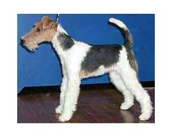 Fox Terriers (Wire)