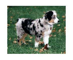 Miniature Australian Shepherd Breed Information Pictures