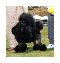 Miniature Poodle Breed Information & Pictures (Caniche, Pudle)