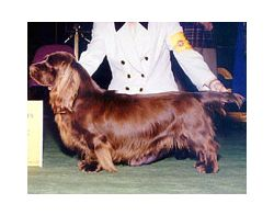 Sussex Spaniel Breed Information Pictures Common Nickname Is Sussex