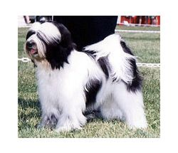 Tibetan Terrier Breed Information