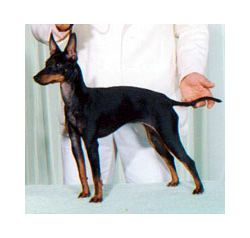 Toy Manchester Terrier Breed Information Pictures English Toy