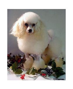 Toy Poodle Thyroid Disease Information Oxford Labs