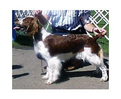 Related Pictures lab english springer spaniel mix images conspiracy