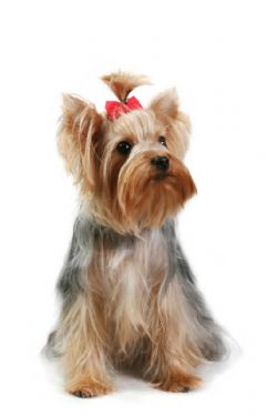 Yorkshire Terrier Breed Information & Pictures (Yorkies )