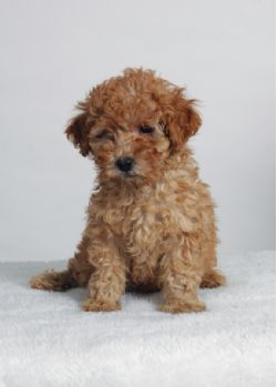Tiny Toy Poodle SOLD