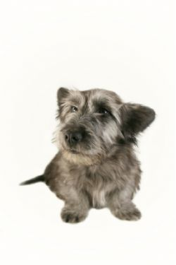 Skye Terrier Breed Information & Pictures (Skye Terrier)