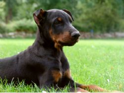 Doberman Pinscher Breed Information & Pictures (Doberman, Dobermann)