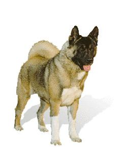 Akita Breed Information & Pictures (Great Japanese, Akita