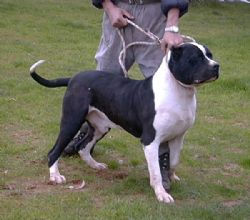 American Bandogge Mastiff Breed