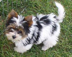 Biewer Terrier Breed Information & Pictures () Xoloitzcuintli On Sale