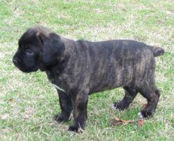 Cane Corso Italian Mastiff Breed Information & Pictures ()